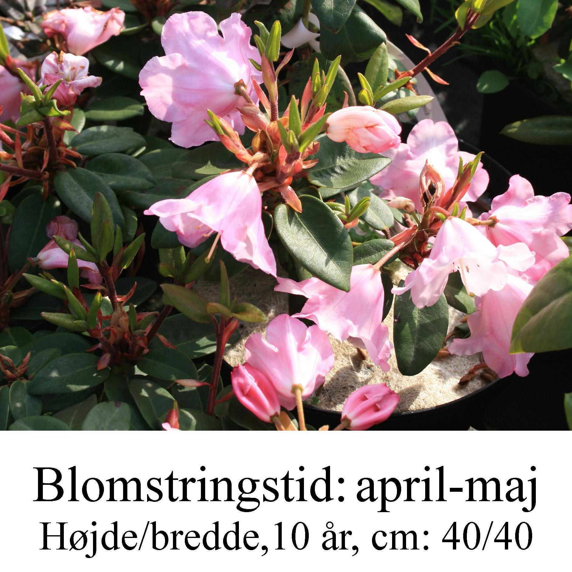 "Rhododendron  ""Bow Bells"
