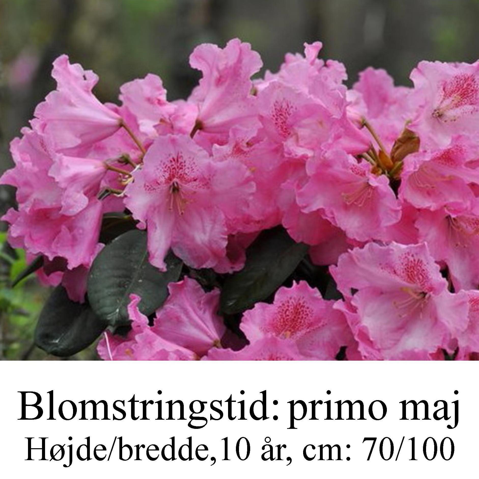 rhododendron Claudius
