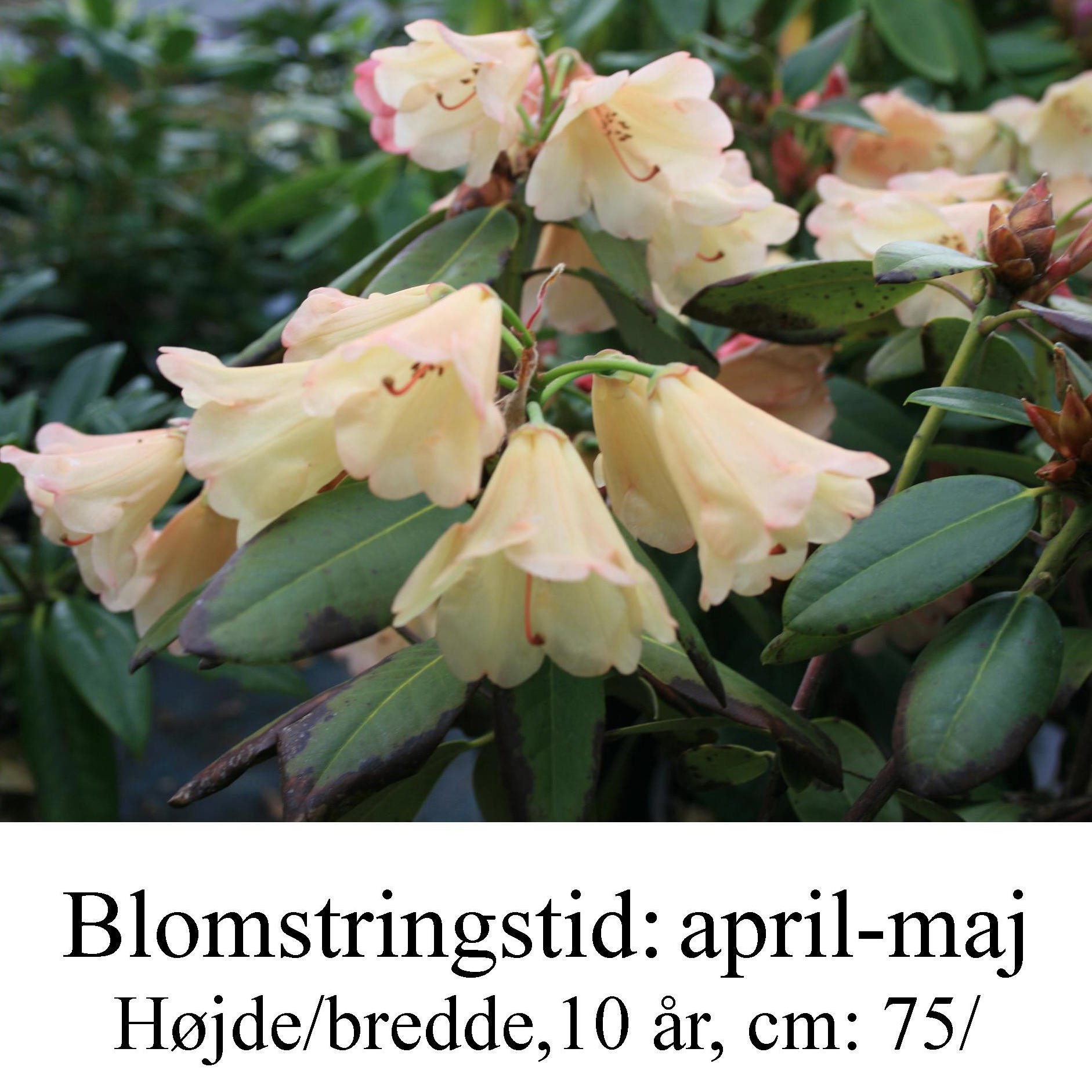 "Rhododendron  ""Lisa Hage"