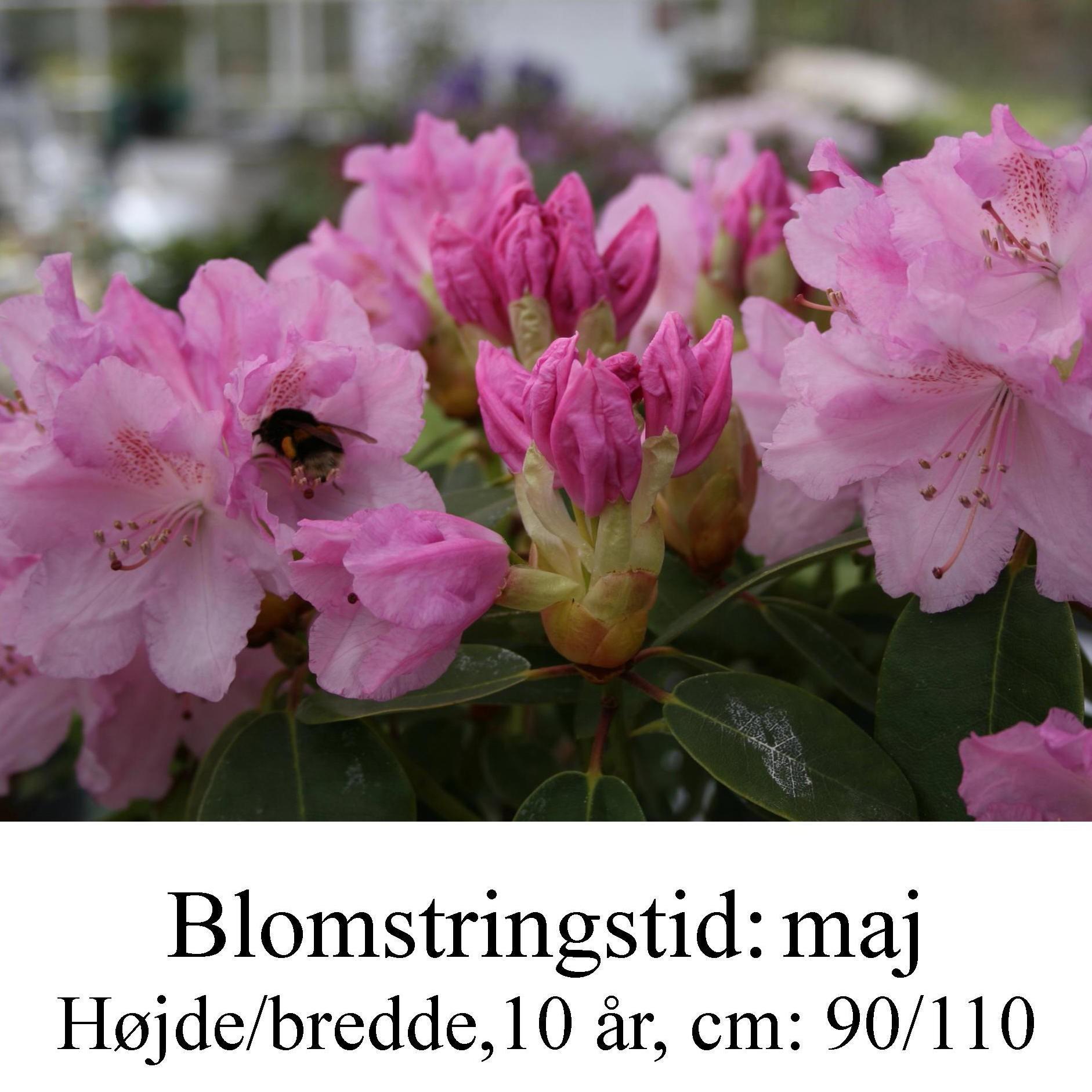 will Moerheim's Pink