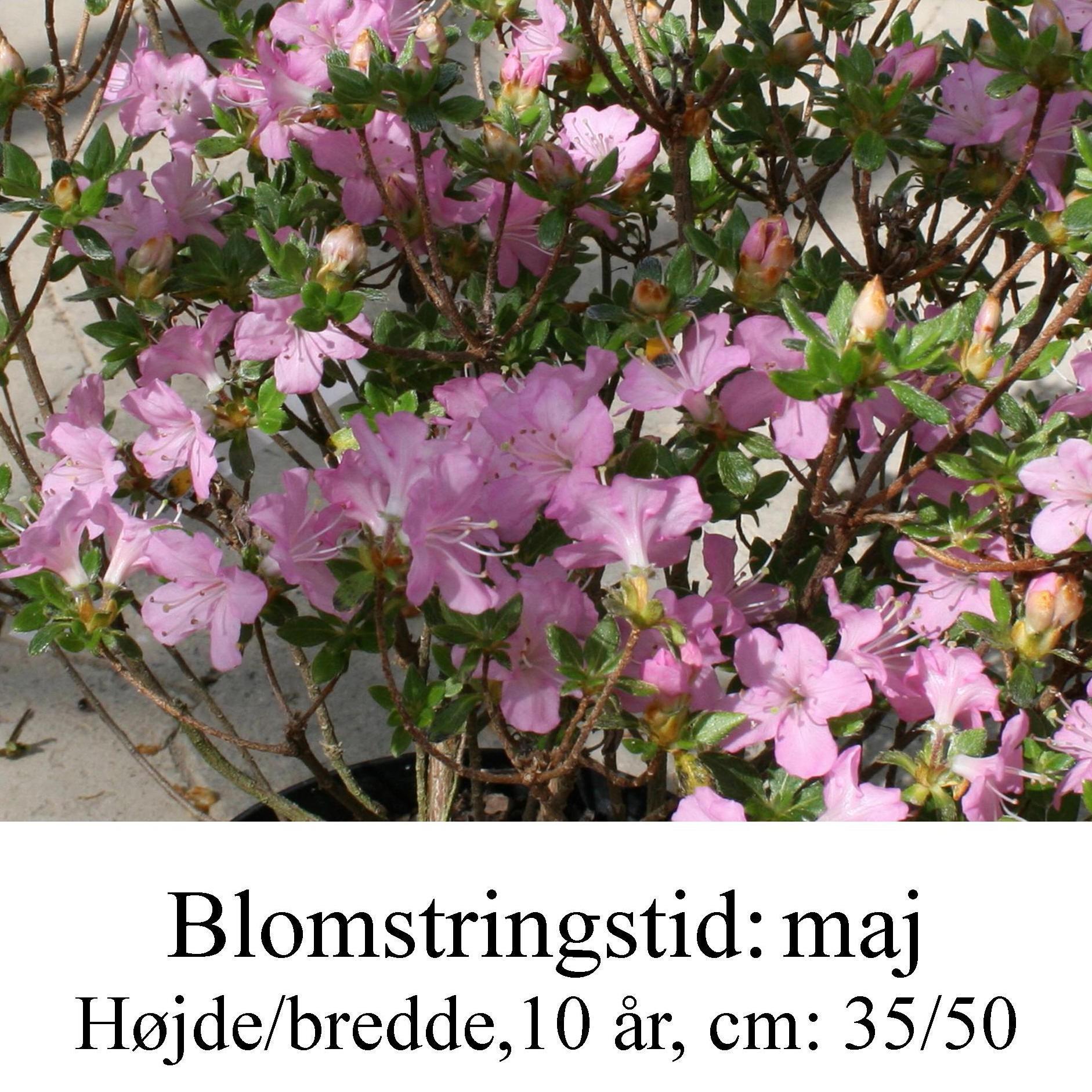 rhododendron Betty Muir