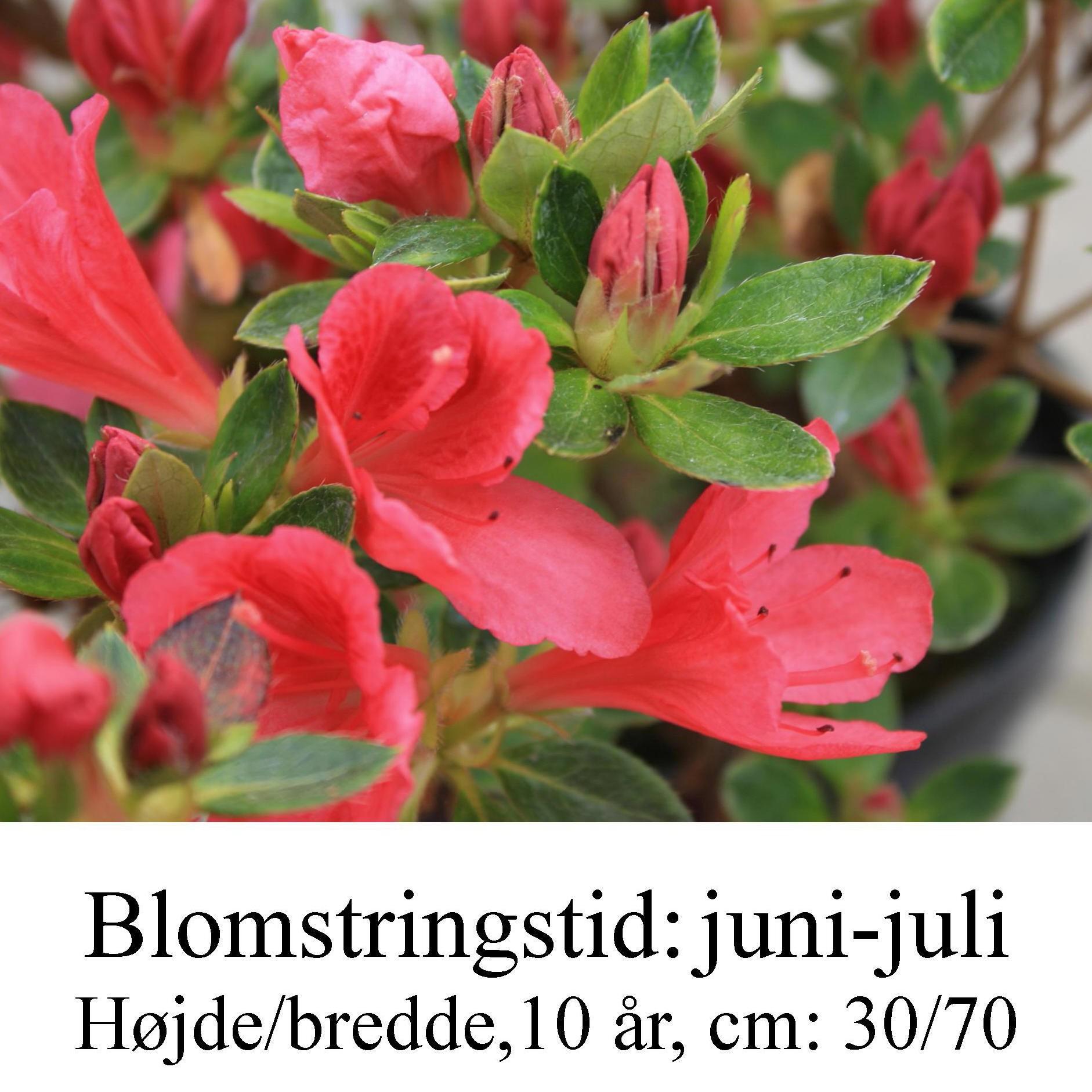 rhododendron Drapa