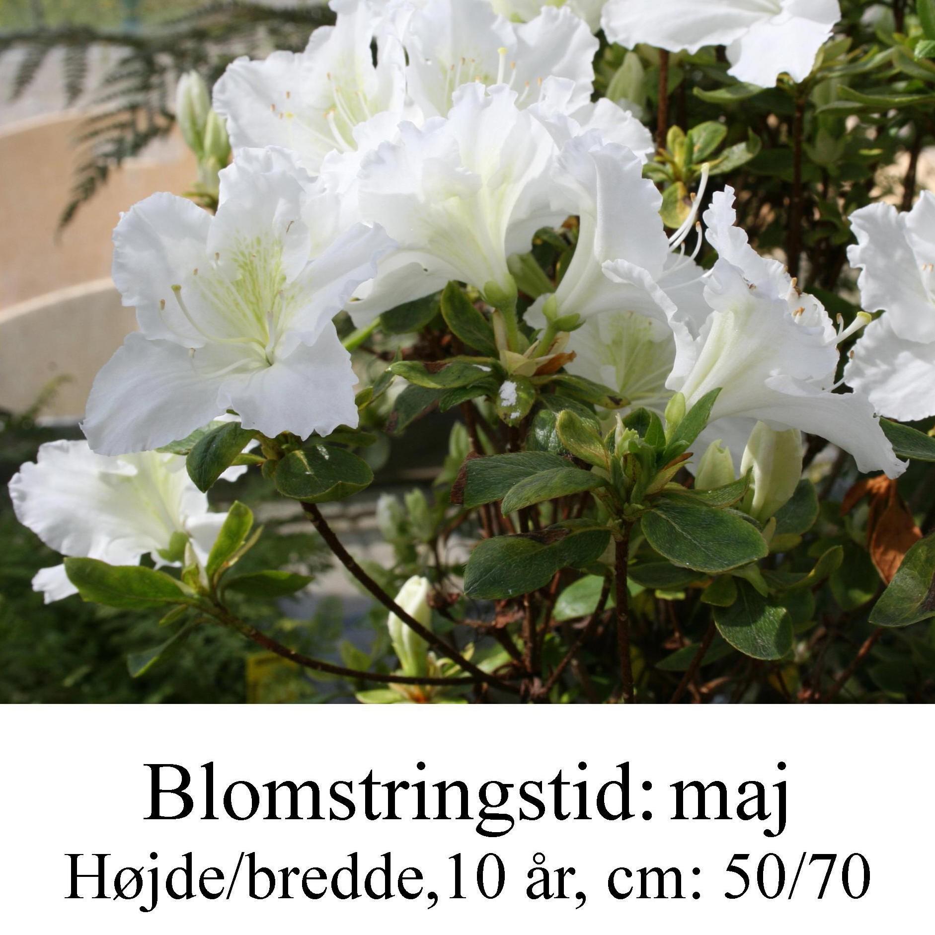 rhododendron Maischnee