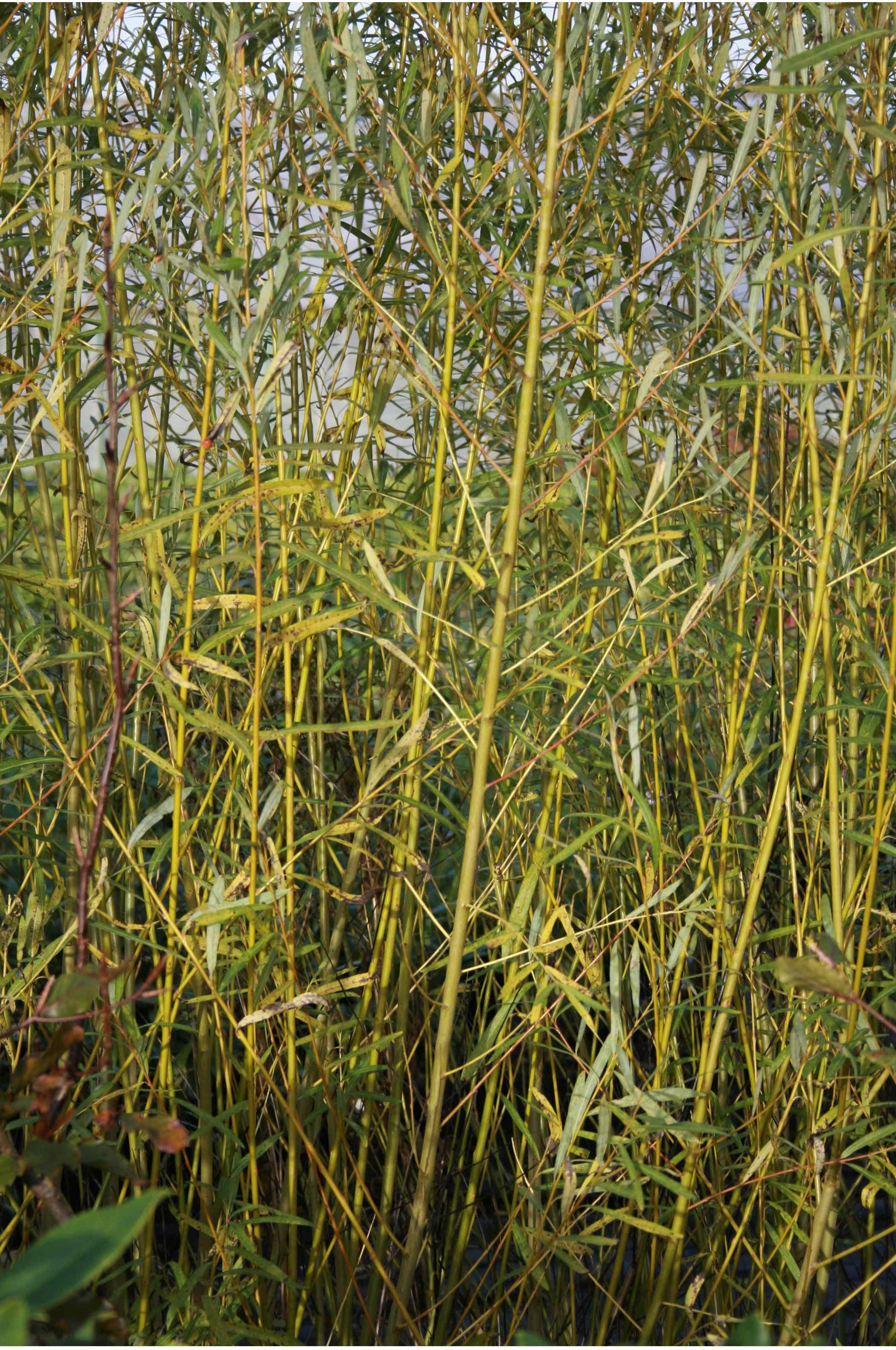 Salix 69 flettepil
