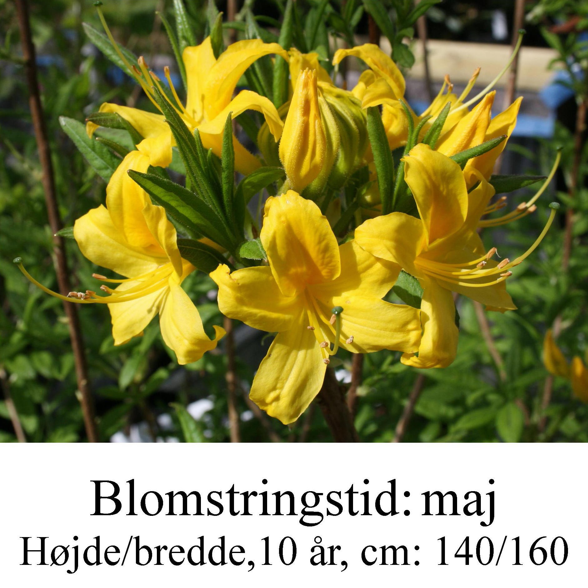 luteum basta select rhododendron azalie