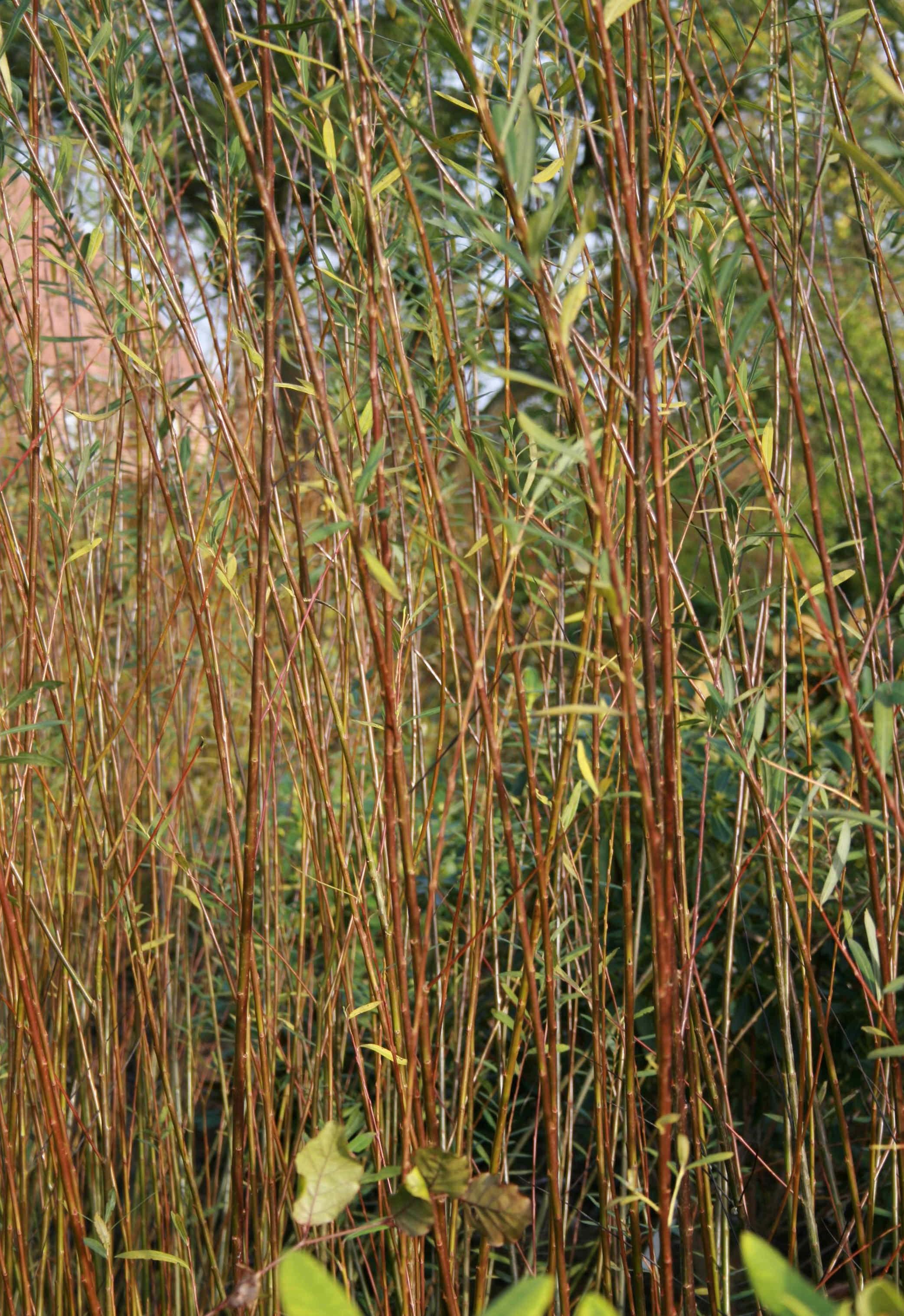 """Salix """"Bleu"""" flettepil"""