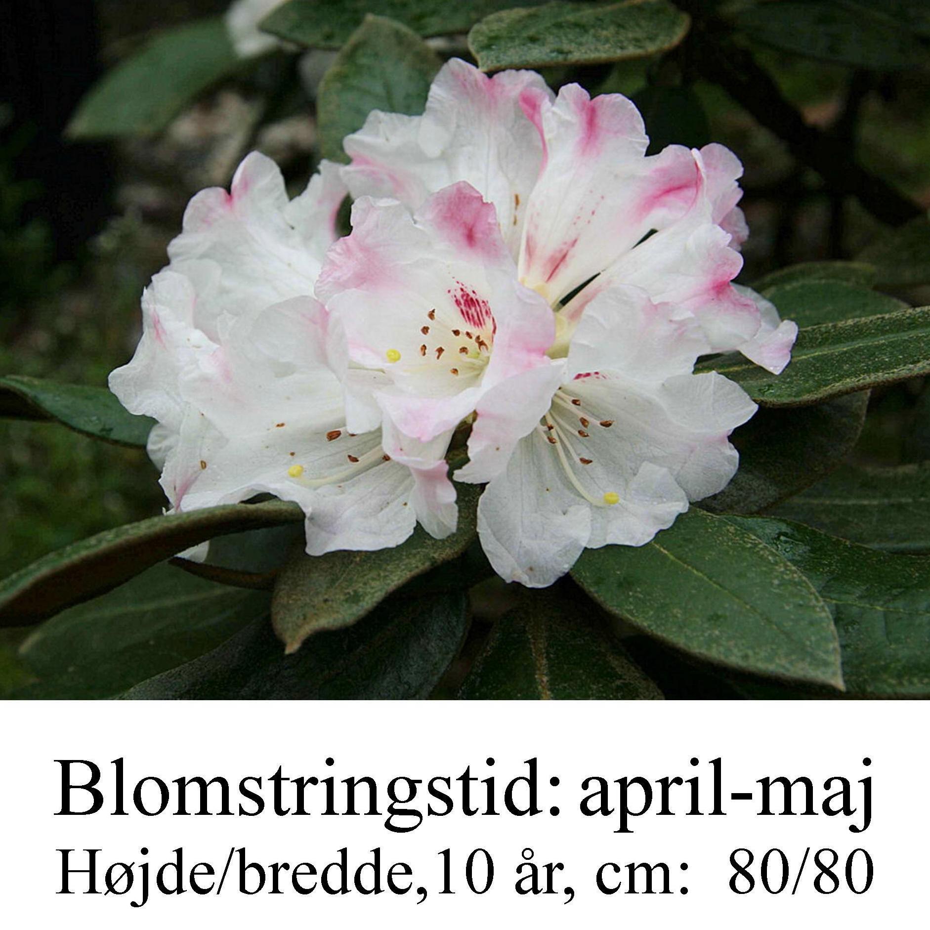 Rhododendron bureavii