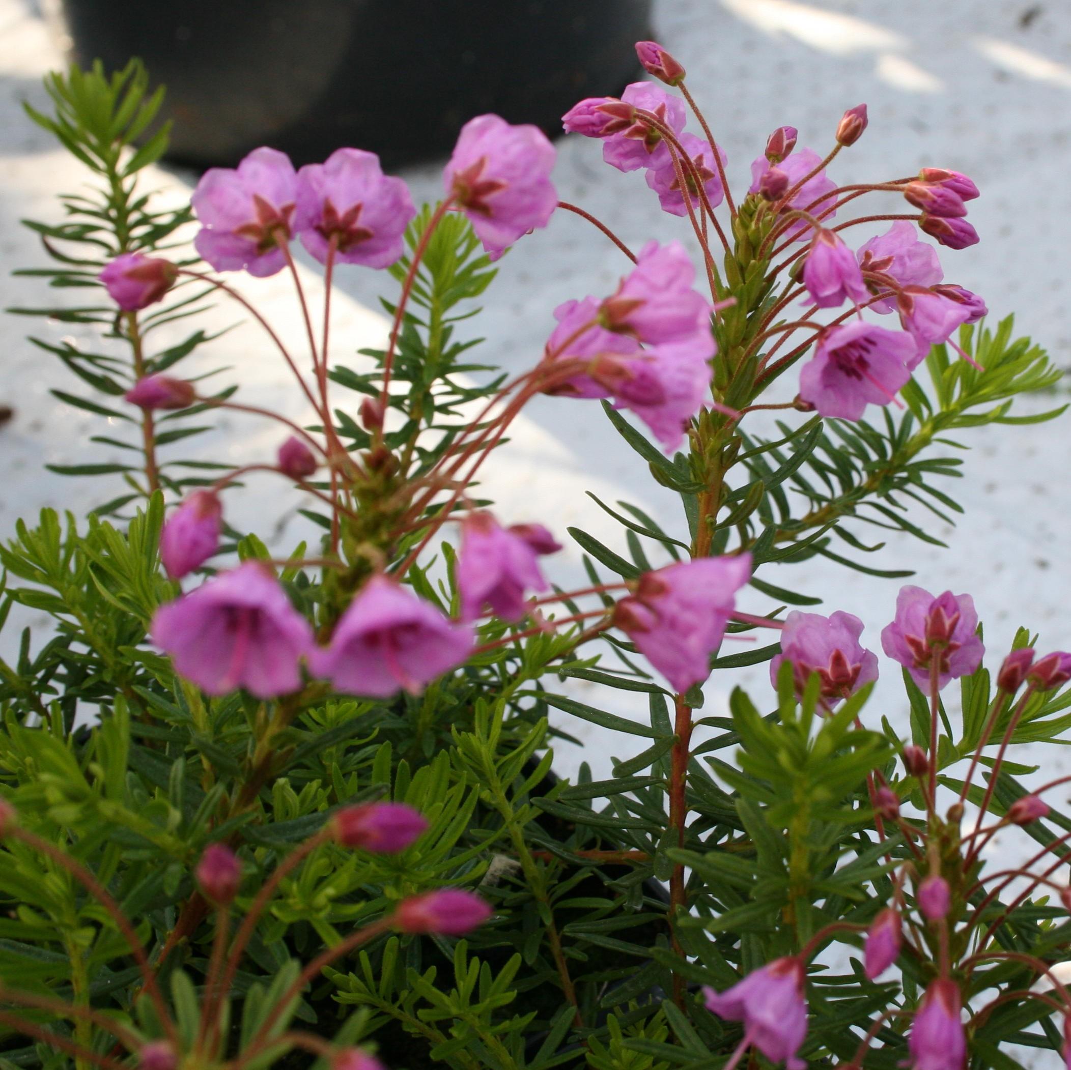 x phylliopsis Coppelia