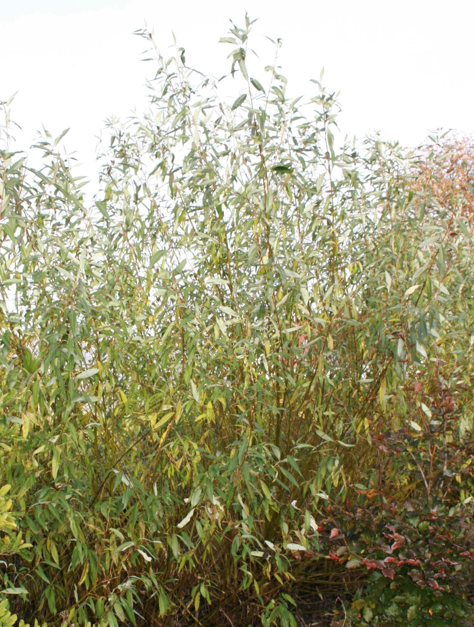 Salix Rød Belgier flettepil