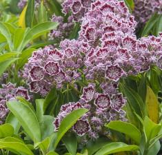 Kalmia latifolia Carousel