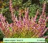 Calluna vulgaris Tessa