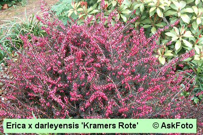 Erica x darleyensis Kramer's Rote