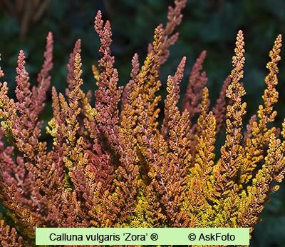 Calluna vulgaris Zora