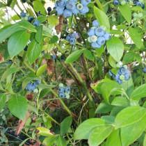 Bluecrop amerikansk blåbær