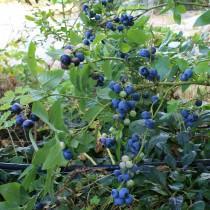 Goldtraube, amrk blåbær