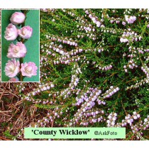 Calluna vulgaris County Wicklow
