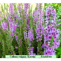 Calluna vulgaris Kerstin