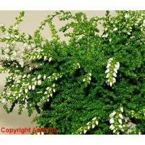 Calluna vulgaris Low White