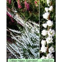 Calluna vulgaris Kinlochruel