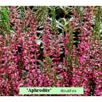 Calluna vulgaris Aphrodite