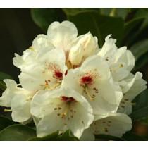 rhododendron Bellini