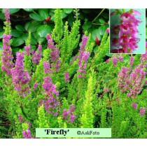 Calluna vulgaris Firefly