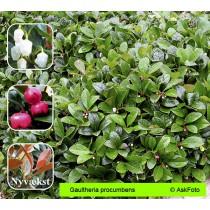 Gaultheria procumbens bjergthe
