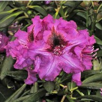 rhododendron Anatevka