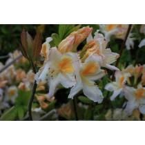 rhododendron azalea Möwe