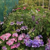 Hydrangea Hortensia oversigt