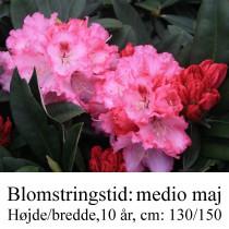 rhododendron yakushimanum Arabella