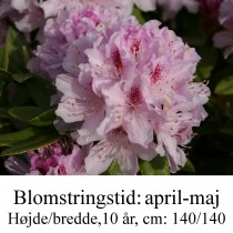 rhododendron Cheer