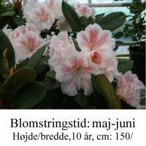 rhododendron Double Dots