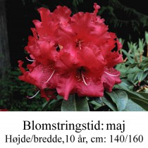 rhododendron Halfdan Lem