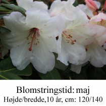 rhododendron Blueshine Girl