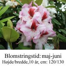 rhododendron Cassata