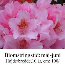 rhododendron Bashfull