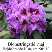 rhododendron Blue Boy