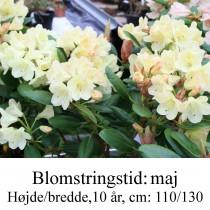 rhododendron Goldinetta