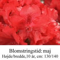 rhododendron Erato