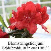 rhododendron Hachmann's Feuershein