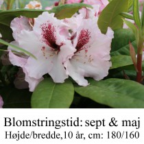 rhododendron Herbstfreude