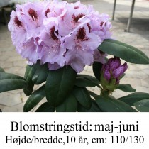 rhododendron Humbolt