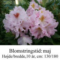 rhododendron Janet Blair