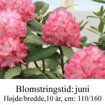 rhododendron Juniperle