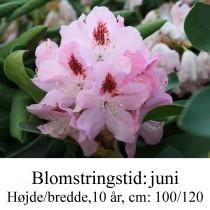 Lady Anette de Trefford rhododendron
