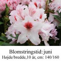 rhododendron Graffito