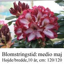 """Rhododendron """"Midnight Mystique"""