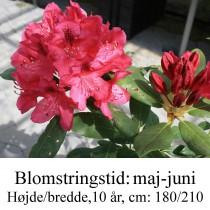 "Rhododendron ""Nova Zembla"