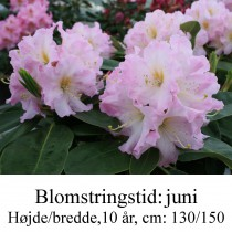 "Rhododendron ""Onkel Dines"